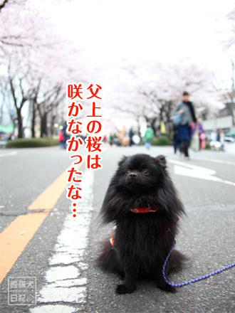 父上の桜・・・・
