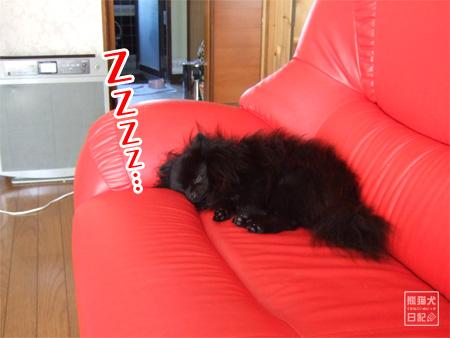 真熊、ソファで熟睡