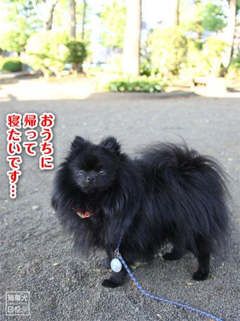 20110516_朝弱ポメラニアン6