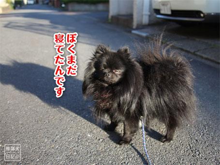 20110516_朝弱ポメラニアン2