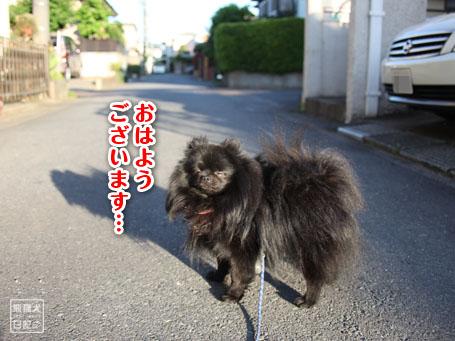 20110516_朝弱ポメラニアン1