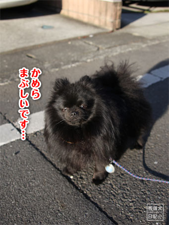 20110516_朝弱ポメラニアン8