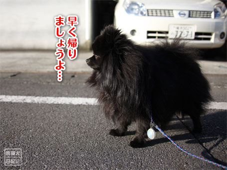 20110516_朝弱ポメラニアン10