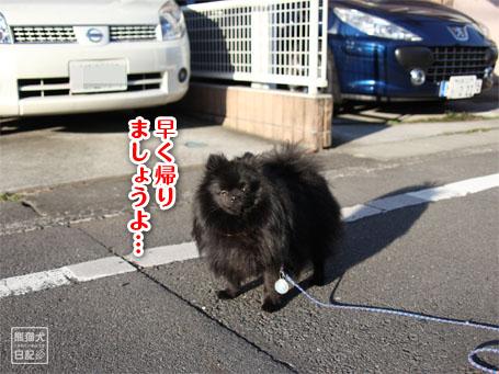 20110516_朝弱ポメラニアン7