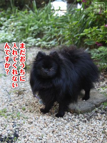 20110516_朝弱ポメラニアン15