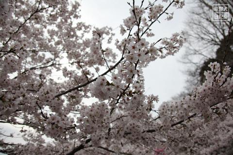 20120423_お花見10