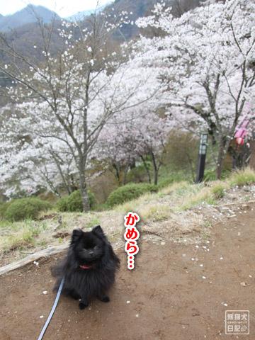 20120424_大月お花見3