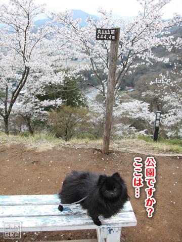 20120424_大月お花見2