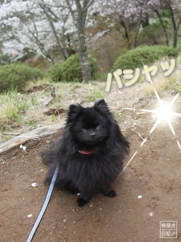 20120424_大月お花見4