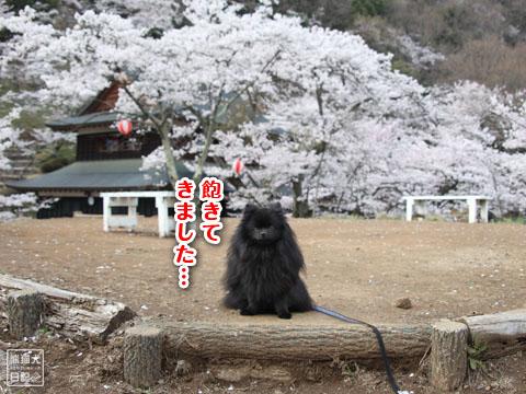 20120425_お花見3