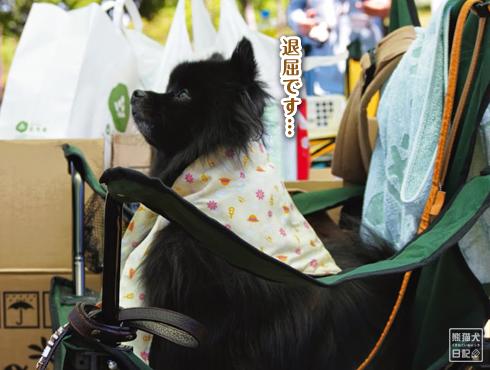 20140605_黒サモエド11