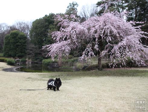 20150410_噴水と桜10
