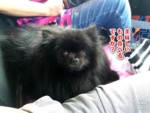 ポメラニアン 黒 真熊