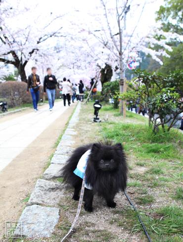 20160418_桜スポット5