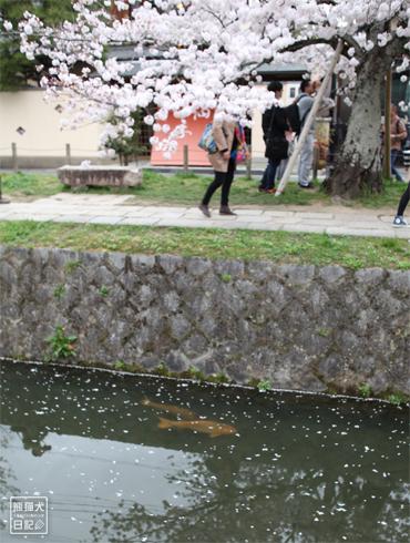 20160418_桜スポット10