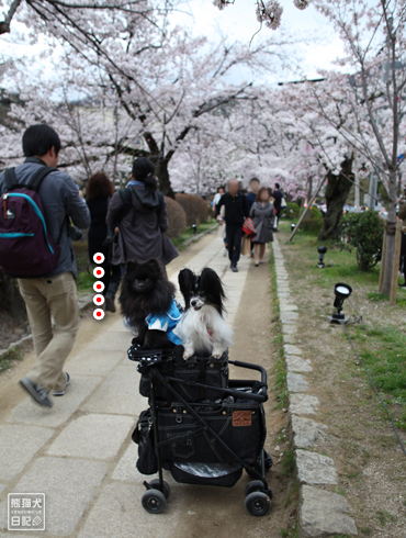 20160418_桜スポット7