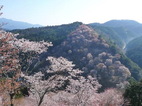 20160426_吉野の桜3