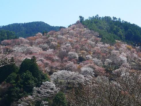 20160426_吉野の桜2
