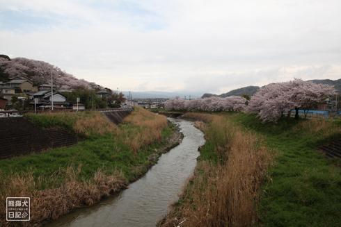 20160426_奈良の桜4