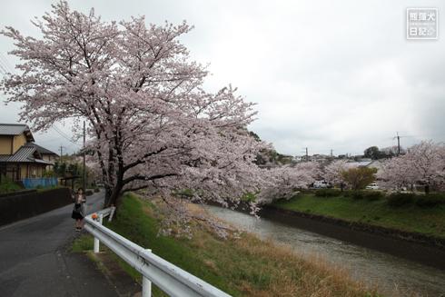 20160426_奈良の桜6
