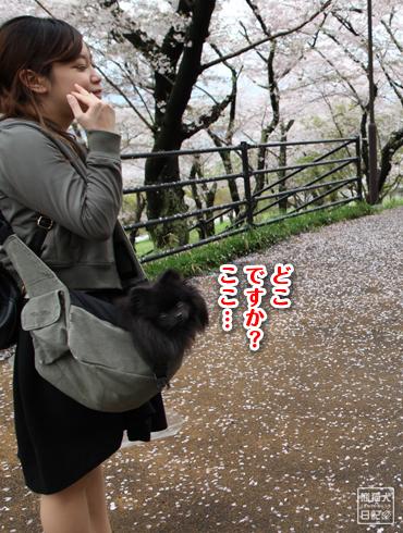20160426_奈良の桜15