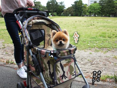20160619_柴犬カット1