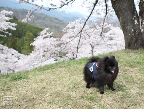 20170425_山梨の桜3