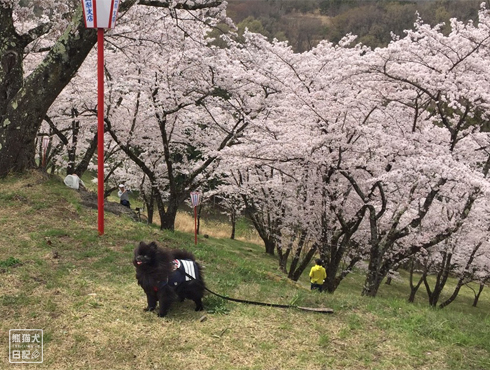 20170425_山梨の桜7