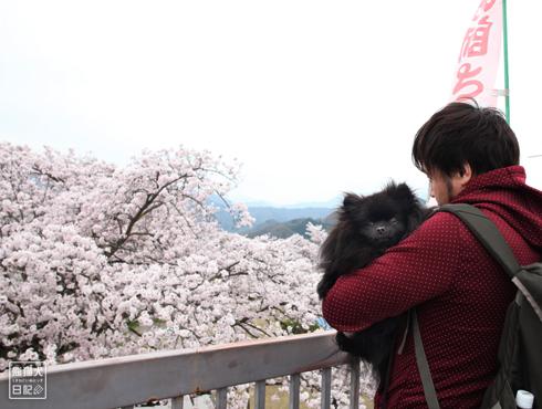 20170501_桜と真熊3
