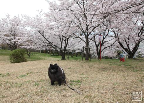 20170501_桜と真熊2