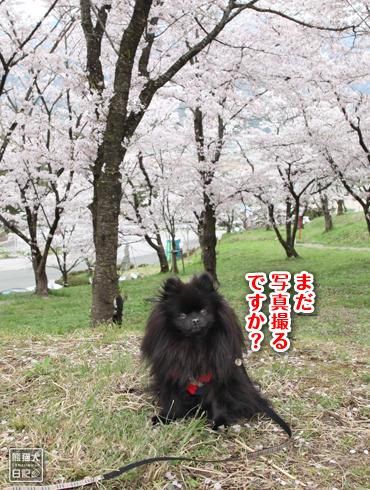 20170501_桜と真熊7