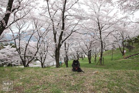 20170501_桜と真熊6