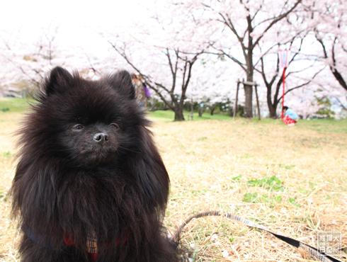 20170501_桜と真熊11
