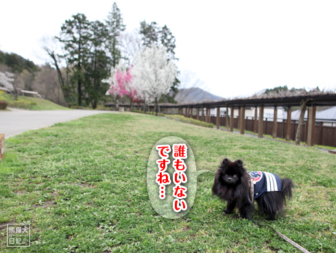 20170511_はしご桜7
