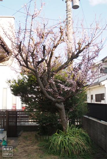 20180316_梅の木11