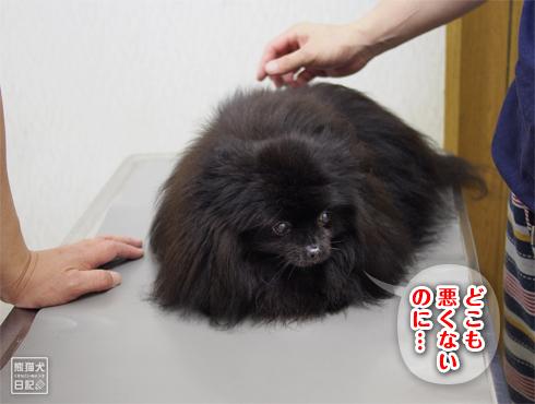 20180625_真熊ワクチン4