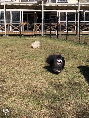 20181111_熊猫犬ファミリーの犬4