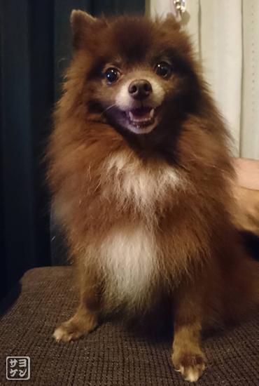 20181111_熊猫犬ファミリーの犬10