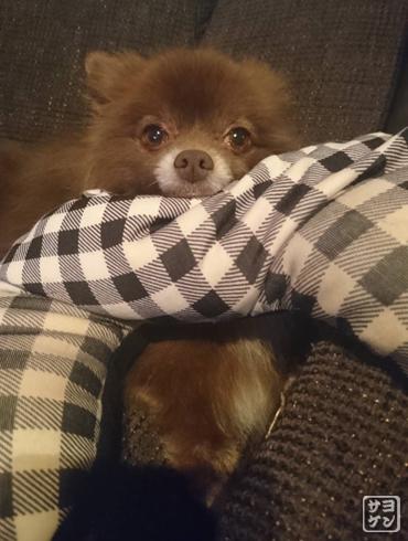 20181111_熊猫犬ファミリーの犬11