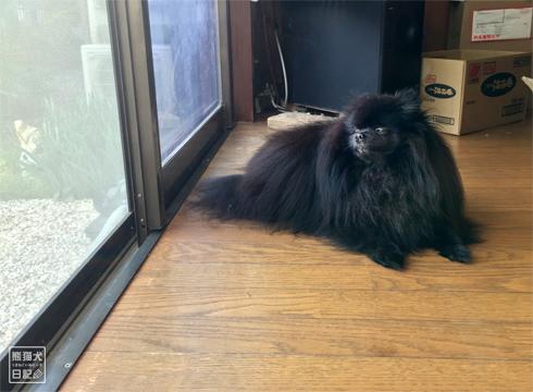 20181111_熊猫犬ファミリーの犬13