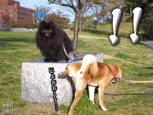 20190701_柴犬とポメラニアン10
