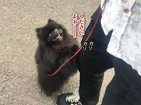 20191029_おあずけ真熊3