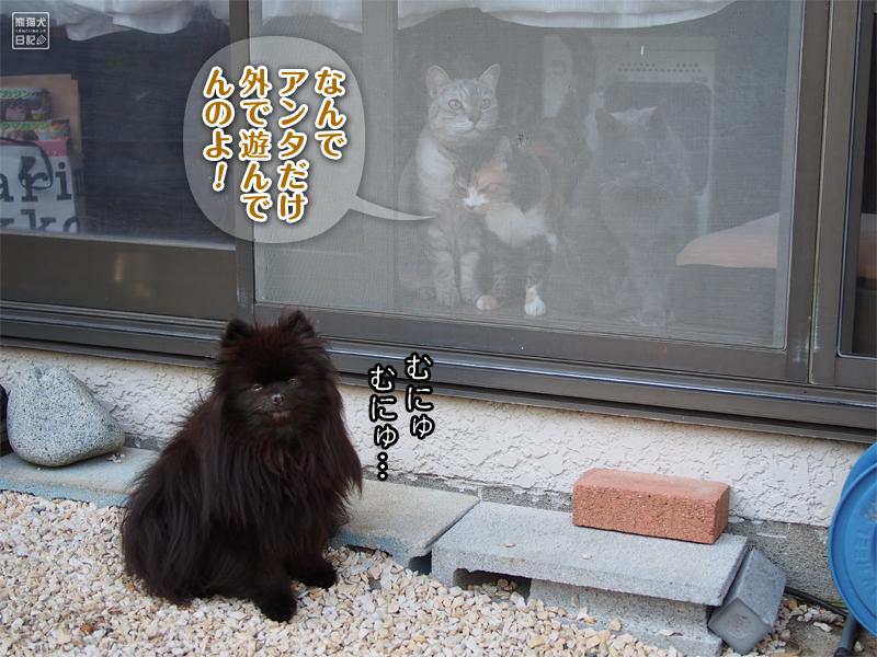 ポメラニアン真熊&3匹の猫たち