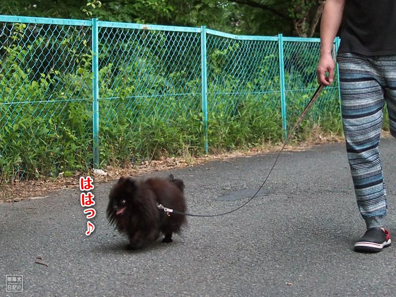 ポメラニアン真熊
