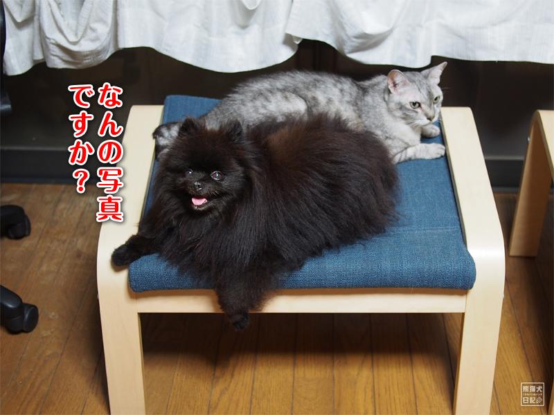 ポメラニアン真熊&寿喜