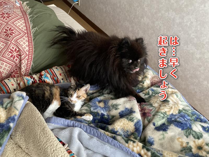三毛猫稚葉&ポメラニアン真熊