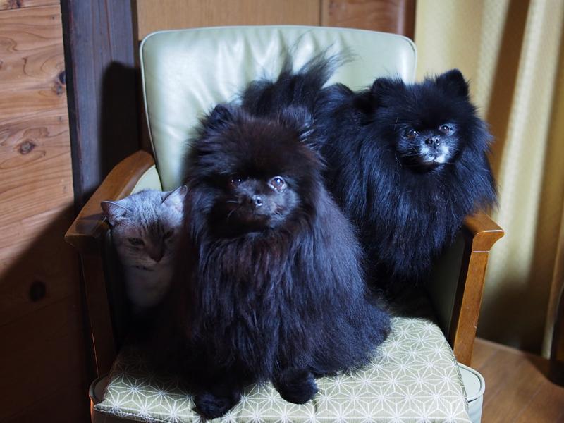 ポメラニアン真熊&志熊