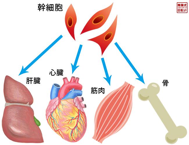 幹細胞再生医療