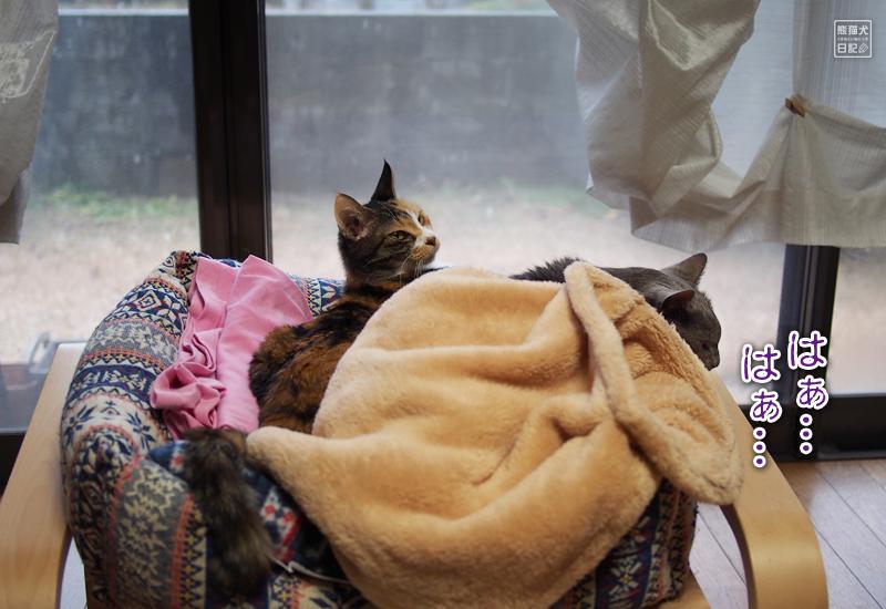 三毛猫の稚葉&石像猫にいな