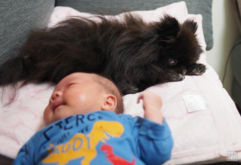 赤ん坊とポメラニアン